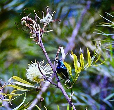 Souimanga Sunbird 01a, Perinet, Madagasc