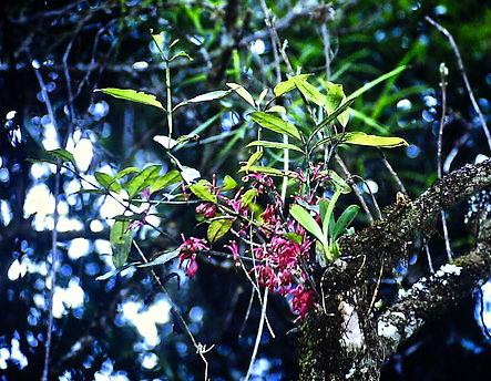 Epiphyte 01a, Ranomafana rainforest, Mad