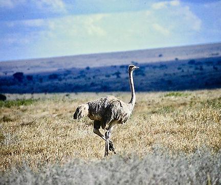 Ostrich 03a, Nairobi NP, Kenya, 29-10-88