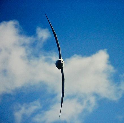 Shy Albatross 21a, Stewart Is NZ, 17-11-