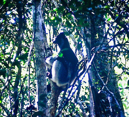 Indri 03a, Perinet, Madagascar, 21_11_88