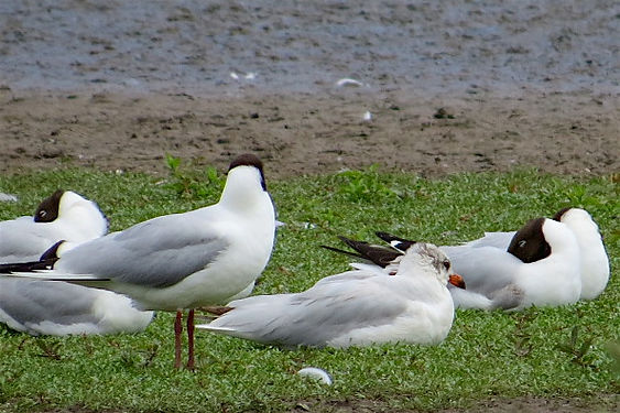 Mediterranean Gull 17601, 2nd sum, Slimb