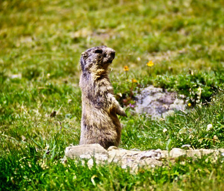 Alpine Marmot 05a, Italy, 8_97.jpg