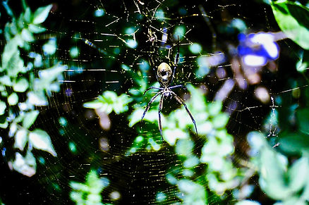 Golden Silk Orb-weaver Spider 02a, Nairo