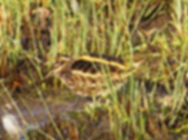 Jack Snipe 190108-13, Slimbridge.jpg