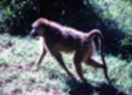 Yellow Baboon 05a, Tsavo, Kenya, 4_12_88