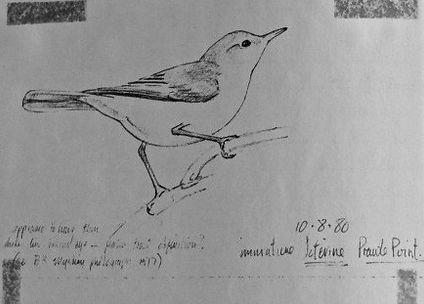 Icterine Warbler, LAT, Prawle Point, 10-