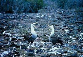 Waved Albatross 06a, Hood Galapagos, 25-