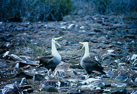 Waved Albatross 06a, Hood Galapagos, 25-