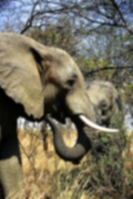 African Elephant 29a, Zimbabwe, 9_98.jpg