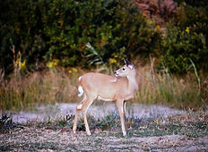 White-tailed Deer 01a, Maryland, 10_87.j