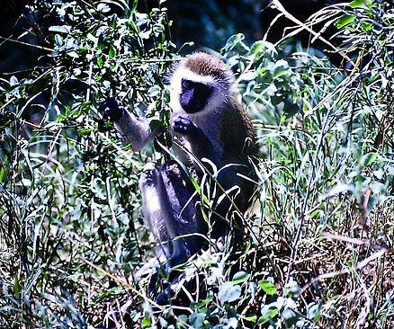 Vervet Monkey 01a, Kenya, 4_12_88.jpg