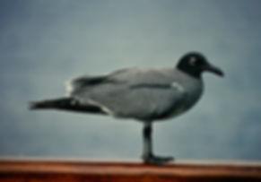 Lava Gull 04a, Plaza, Galapagos, 26-7-86