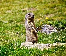 Alpine Marmot 06aa, Italy, 8_97 (1).jpg
