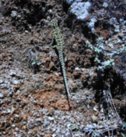 Jewel or Carpet Chameleon 02a, Madagasca