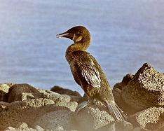 Flightless Cormorant 13a, Fernandina, Ga
