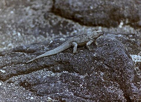 Marine Iguana 33a, Fernandina, Galapagos