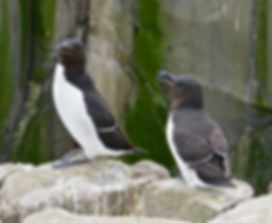 Razorbill 10, Farne Islands, 6_6_19.jpg