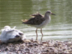 Ruff 170903, Slimbridge, 16_9_17.jpg