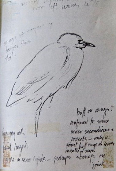 Cattle Egret, LAT 01, Stackpole, 28_12_8