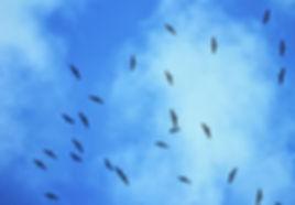 Black Stork 02a, Turkey, Sept'88.jpg