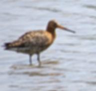 Black-tailed Godwit 08a, Slimbridge, 26-