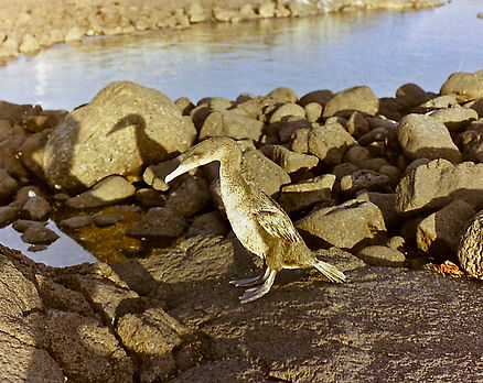 Flightless Cormorant 23a, Fernandina, Ga