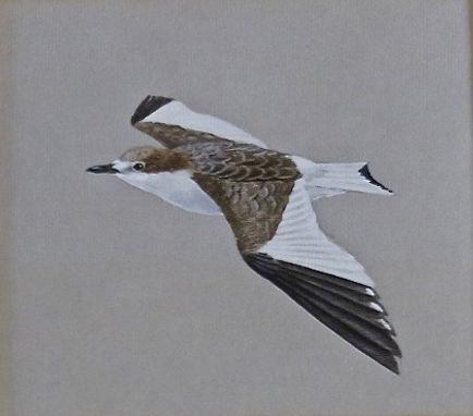 Sabine's Gull, LAT, Dungeness, 19-9-76.j