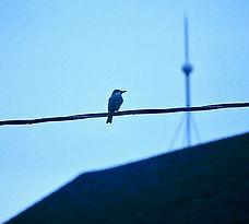 Gray Kingbird 01a, New York State, 3_11_