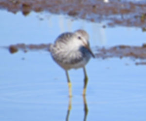 Lesser Yellowlegs 190326-09, Lodmoor.jpg