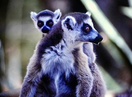 Ring-tailed Lemur 07a, Berenty, Madagasc