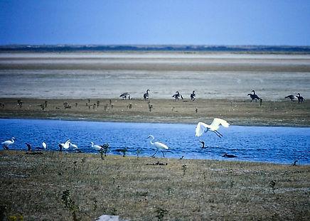 Egrets american 02a, Virginia, 22-10-87.