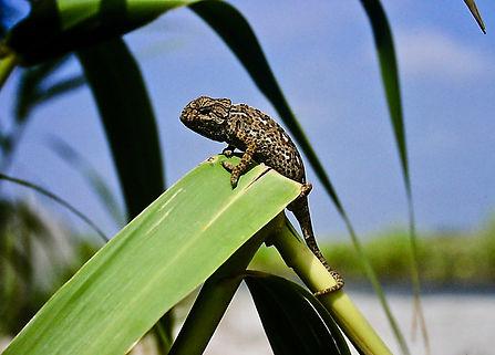 European Chameleon 02a, Rota, 9_93.jpg