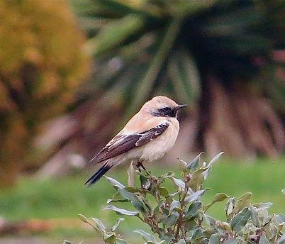 Desert Wheatear 01aa, male, SB, 12_12_13
