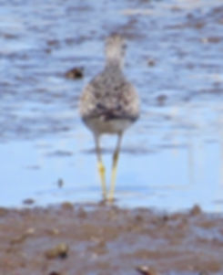 Lesser Yellowlegs 190326-30, Lodmoor.jpg