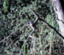 Giant Kingfisher 01a, Kenya, 12_88.jpg