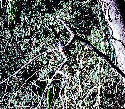 Giant Kingfisher 01a, Kenya, 12_88.jpg