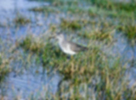 Lesser Yellowlegs 01a, Marazion, 18-10-8
