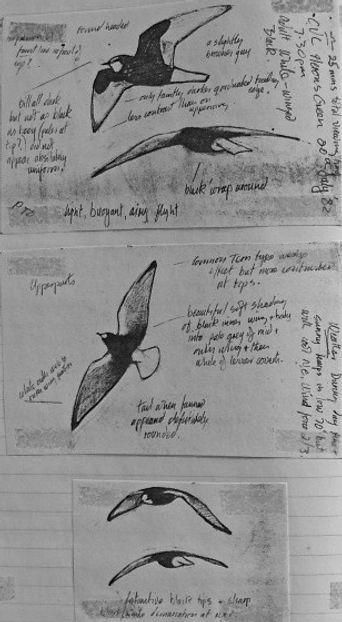White-winged Black Tern LAT02, CVL, 20_7