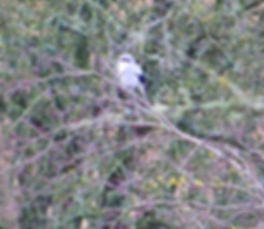 Great Grey Shrike 200115-1, Park Corner,