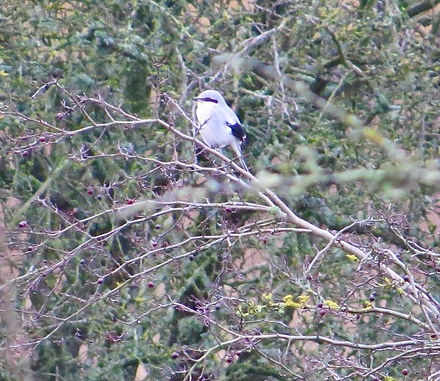 Great Grey Shrike 200115-1, Park Corner,