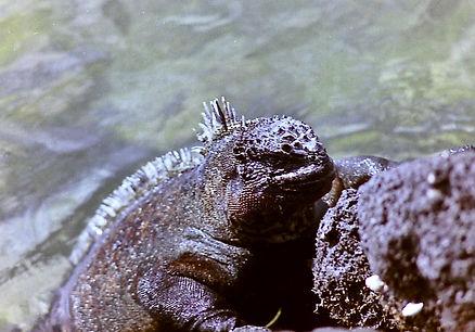 Marine Iguana 22a, Fernandina, Galapagos