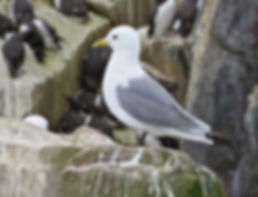 Kittiwake 02, Farne Islands, 6_6_19.jpg