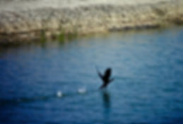 Pygmy Cormorant 02a, Lake Marmara, Turke