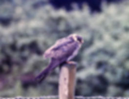 Red-footed Falcon 01a, Walberswick, 2-7-