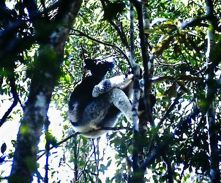 Indri 01a, Perinet, Madagascar, 21_11_88