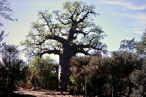 Fony Baobab, Adansonia rubrostipa 03a, S