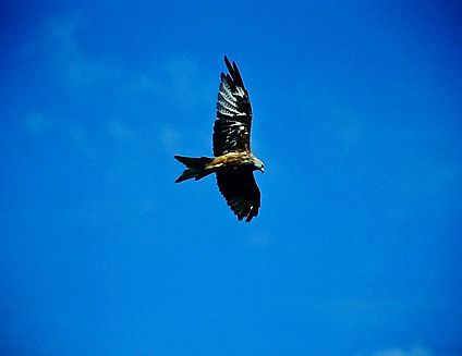 Red Kite 05a, Mid Wales, 22-8-02.jpg