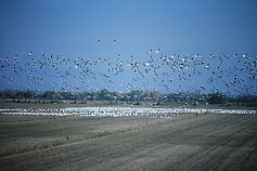 Snow Goose 01cc, Salton Sea, 18_12_86.jp