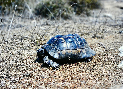 Spur-thighed Tortoise 03a, fire damaged,